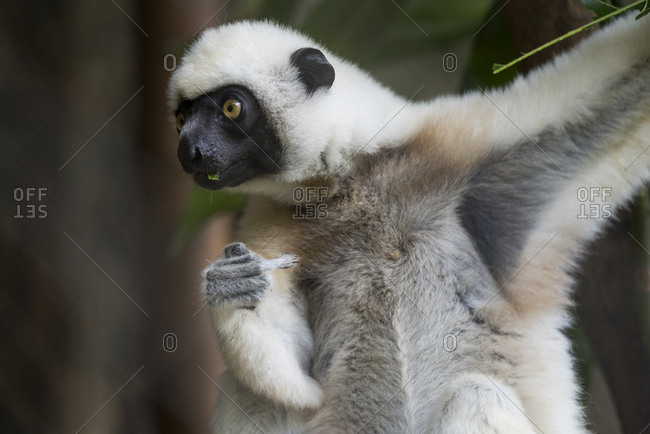 Madagascar, Nosy Be (Big Island) off the northwest coast of mainland Madagascar, Von der Decken's sifaka, white-head sifaka (Propithecus deckenii)