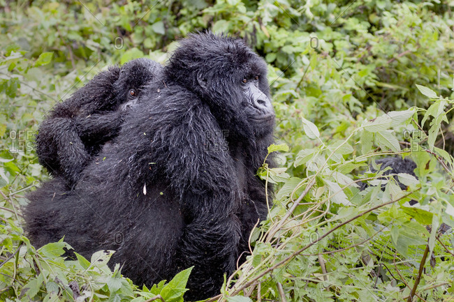 Virunga Mountains, Rwanda, Africa, Mountain Gorillas