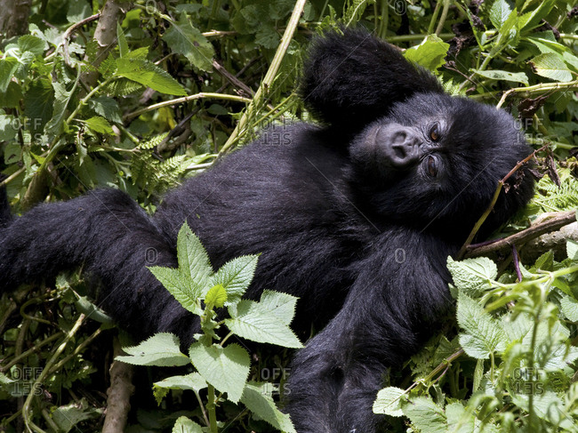 Virunga Mountains, Rwanda, Africa, Mountain Gorilla