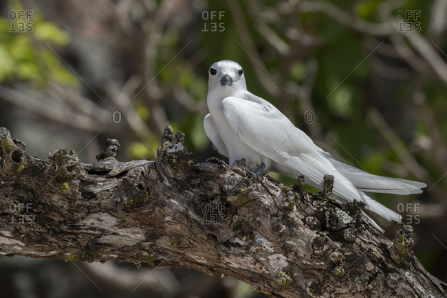 Seychelles, Aride, Aride is the northern most island of the granitic Seychelles, Fairy tern, white tern, with egg on branch (Gygis alba)