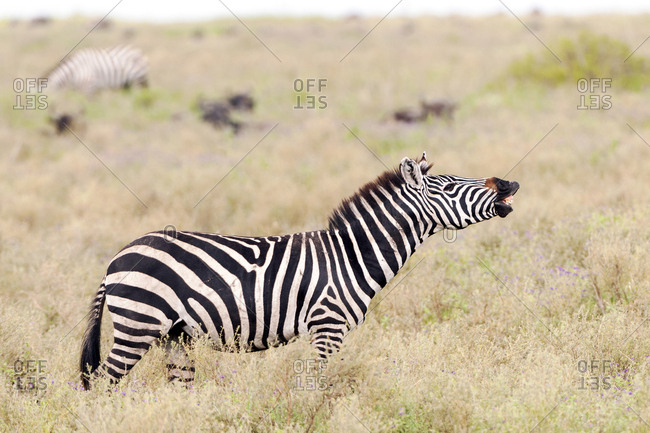 Tanzania, Africa, Plains Zebra doing a lip curl