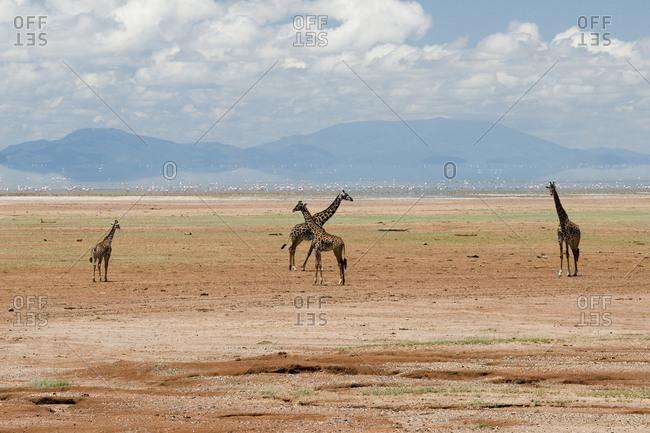Tanzania, Africa, Four Maasai Giraffe