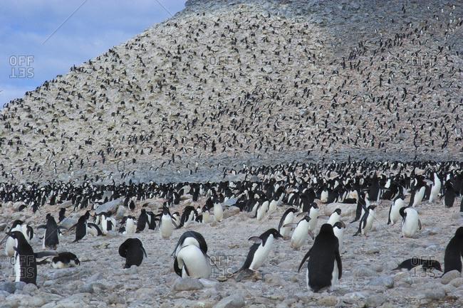 Adelie Penguin Rookery, Paulet Island, Antarctica