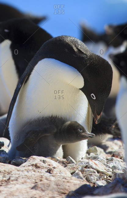 Adelie Penguin, Devil Island, Antarctica