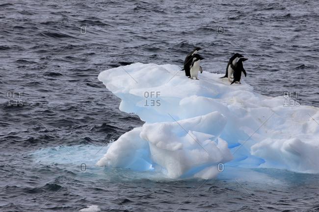 Adelie Penguin, Paulet Island, Antarctica