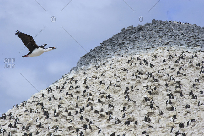 Blue eyed Shag flying over rookery, Paulet Island, Antarctica