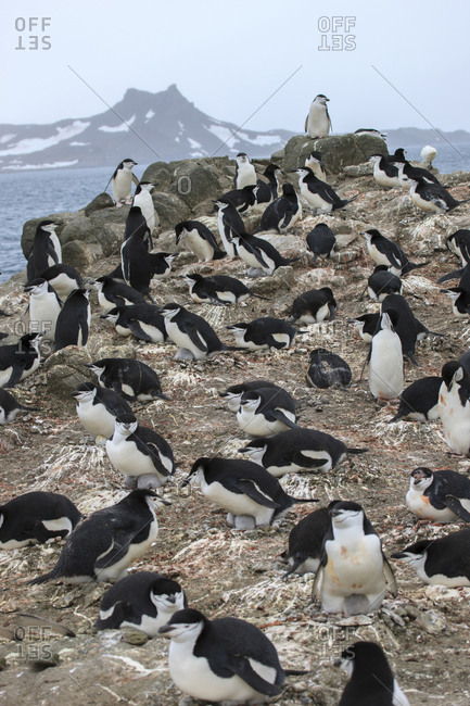Chinstrap Rookery, Whaler's Bay, Deception Island, Antarctica