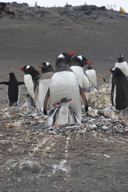 Gentoo Penguin, Barrientos Island, South Shetland Islands Antarctica