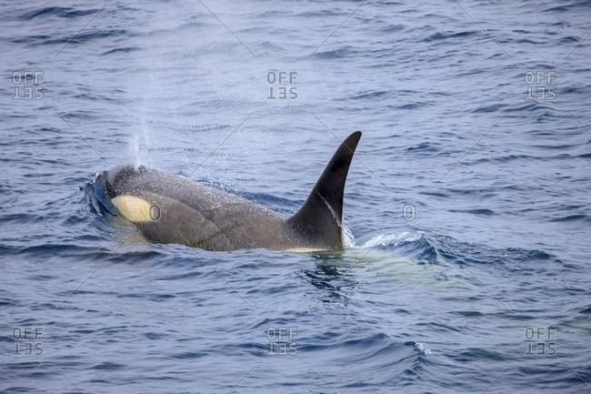 Orcas, South Shetland Islands, Antarctica