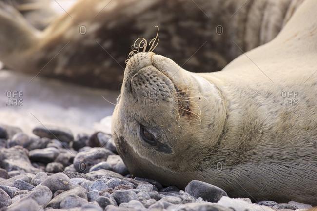 Weddell Seal, Paulet Island, Antarctica
