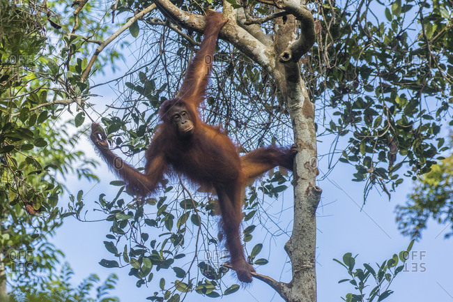 Indonesia, Borneo, Kalimantan, Female orangutan at Tanjung Puting National Park