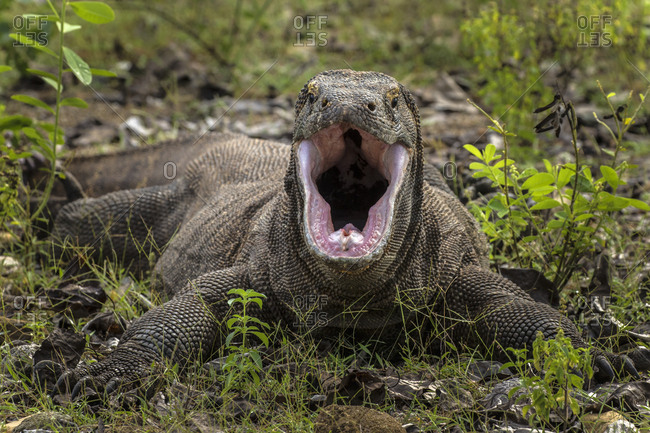 Indonesia, Komodo Dragon National Park, Komodo dragon with open mouth