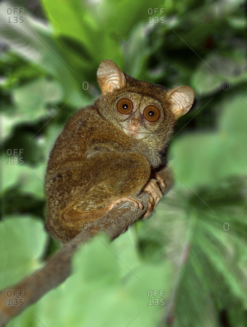 Indonesia, Bali, Sulawesi, Close-up of tarsier on limb, Smallest living primate