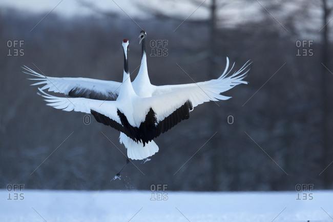 Japan, Hokkaido, Japanese cranes in mating dance