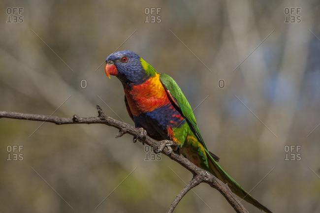 Australia, Queensland, Rainbow lorikeet on limb