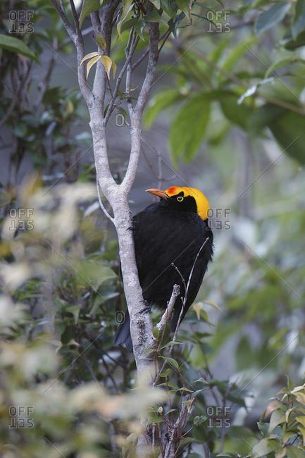 Lamington National Park, Australia, Regent Bowerbird male