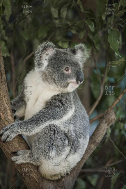 Australia, Queensland, Koala bear in tree