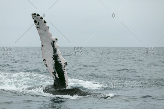 A humpback whale performs a pec fin slap the Silver Bank, Dominican Republic