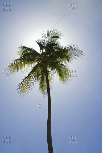 Caribbean, Puerto Rico, Coconut palm tree at Luquillo Beach