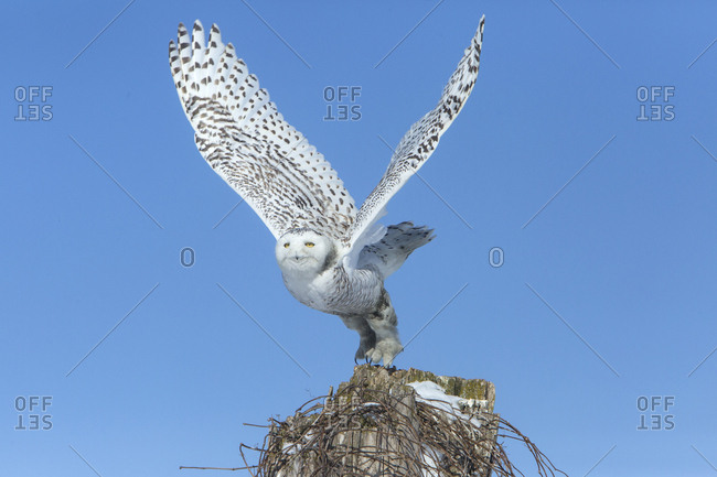 Canada, Ontario, Female snowy owl takes flight