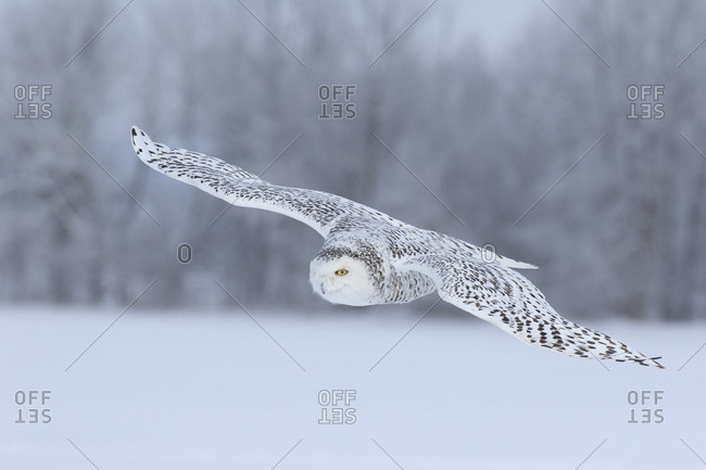 Canada, Ontario, Female snowy owl in flight