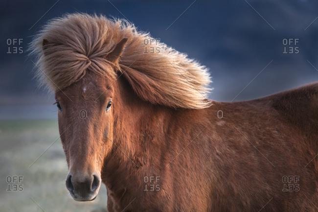 Iceland, Icelandic horse in sunset light