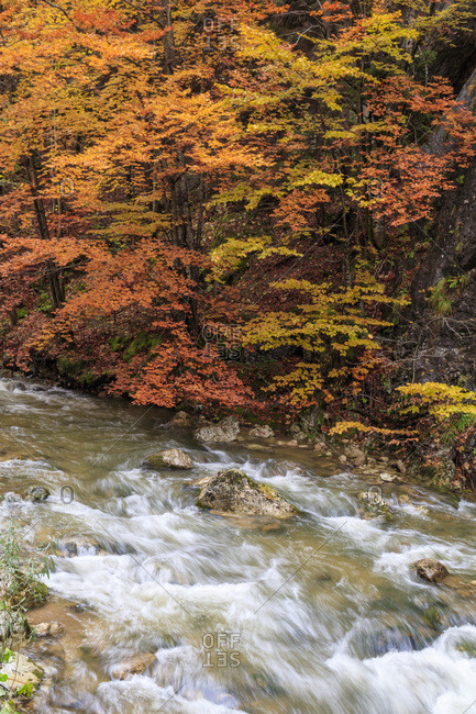Europe, Romania, Bicazului Gorges and Red Lake region, Fall color along the raging river