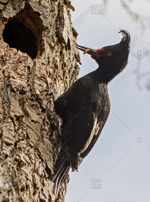 Argentina, Patagonia, South America, A female Magellanic Woodpecker brings a grub to her nest