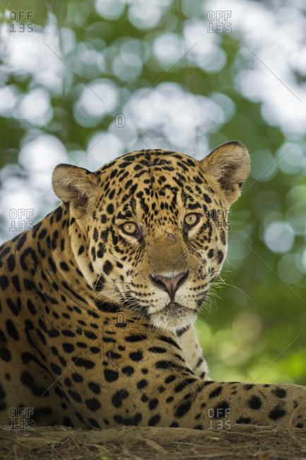 Brazil, Pantanal, Portrait of wild resting jaguar