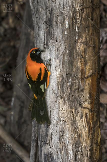 Brazil, Pantanal, Orange-backed Tropical on tree