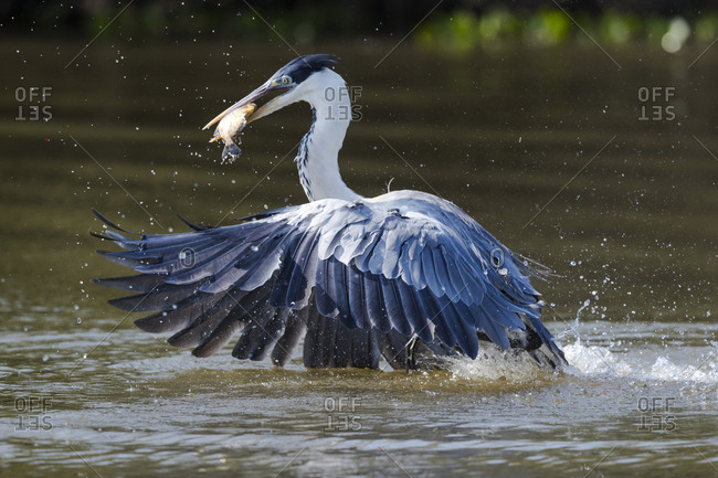 Brazil, The Pantanal, Rio Claro, cocoi heron, Ardea cocoi, Cocoi heron diving for a fish