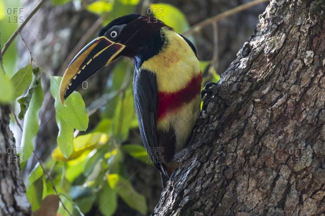 Brazil, The Pantanal, Portrait of a chestnut-eared aracari on a tree trunk