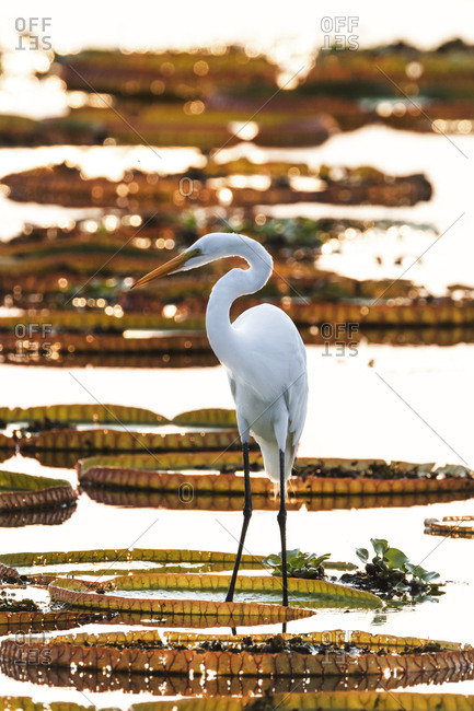 Brazil, The Pantanal, Porto Jofre, Great egret stands on the giant lily pad while looking for fish in the water between the pads