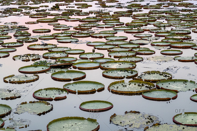 Brazil, The Pantanal, Giant lily pads are in the water at sunset