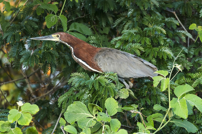 Brazil, The Pantanal, A Rufescent tiger heron adult sits in the branches of a tree