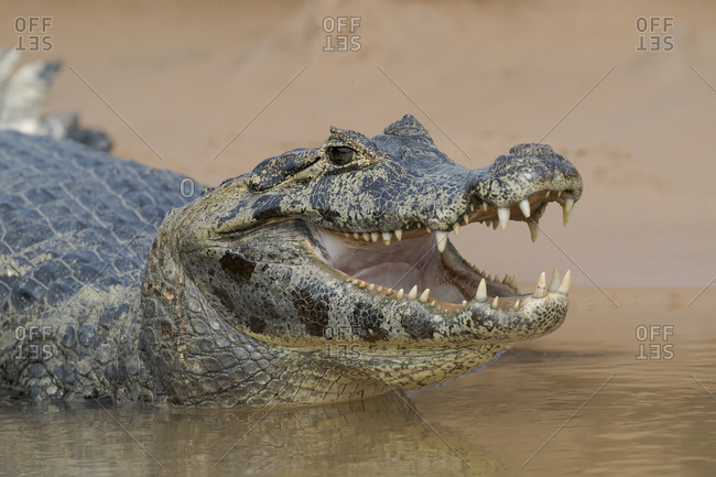 Brazil, The Pantanal, Portrait of an open-mouthed black caiman on the river bank
