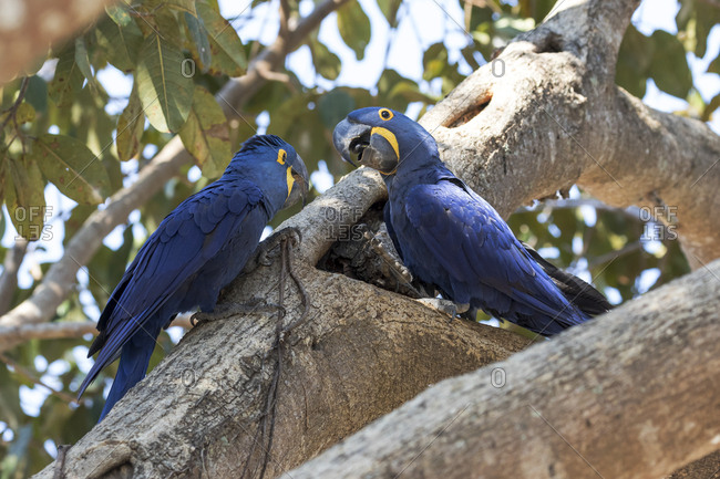 Brazil, The Pantanal, Pair of hyacinth macaws in a tree exploring a hole