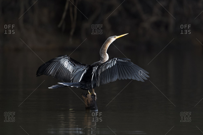 Brazil, The Pantanal, An anhinga perches of a snag while drying its wings