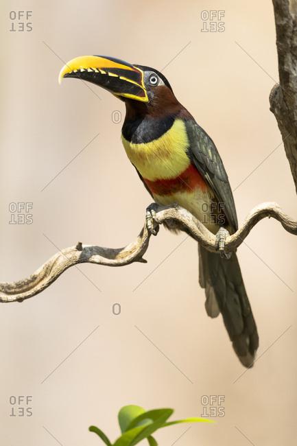 Brazil, The Pantanal, Portrait of a chestnut-eared aracari sitting on a vine