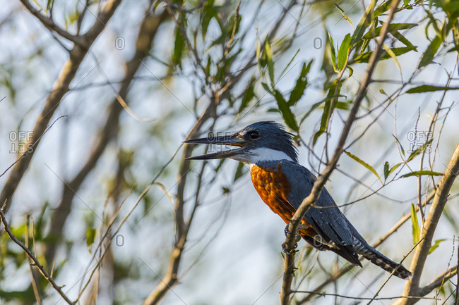Amazon Kingfisher bird rests in warm light among thick branches in the Brazilian Pantanal
