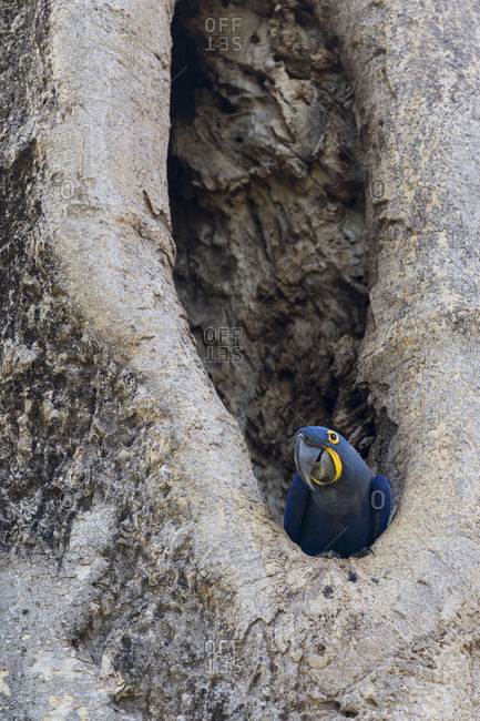Hyacinth Macaw (the largest macaw and the largest flying parrot) in its nest in the Brazilian Pantanal