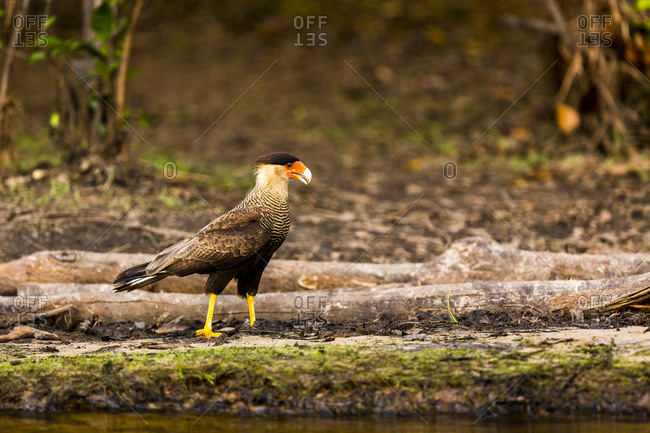 A crested caracara walks along a river bank in the Brazilian Pantanal with a reflection showing on the brown river water