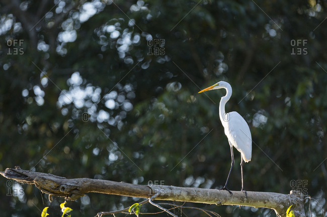 A great white heron rests on a tree branch in direct sunlight with dark background