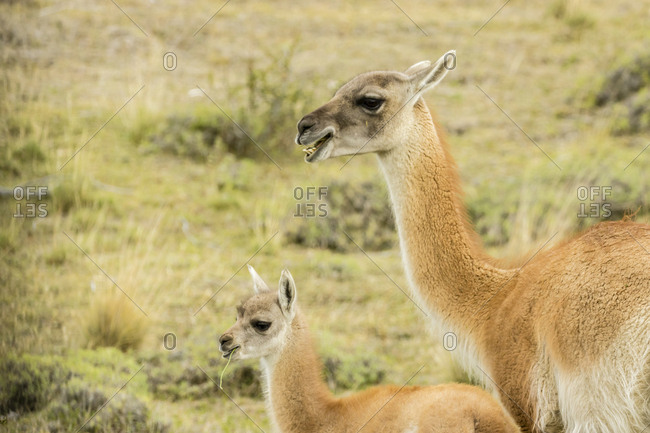 Chile, Patagonia, Adult and baby guanaco