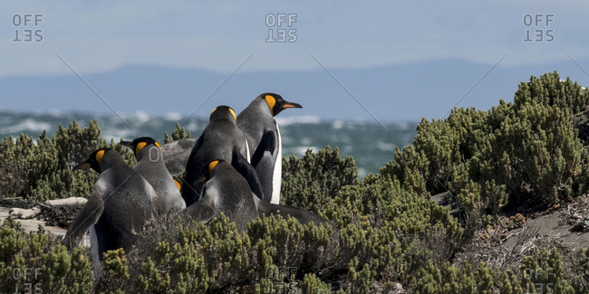 Tiera del Fuego area, Chile, Patagonia, Argentina, A group of King Penguins walk toward the ocean