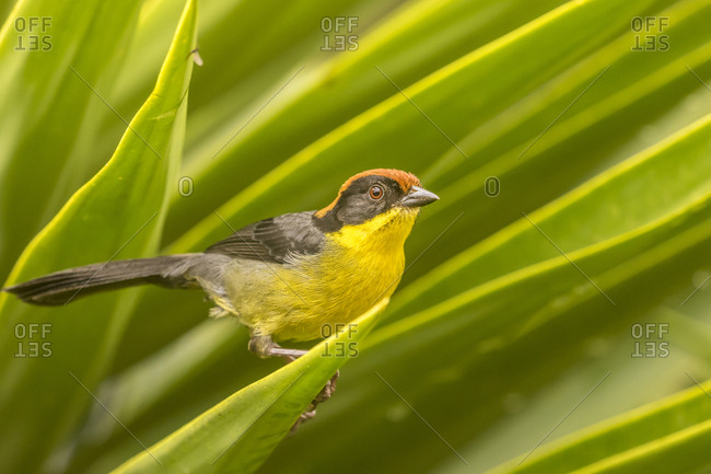 Ecuador, Nono, Rufous-naped bush-finch