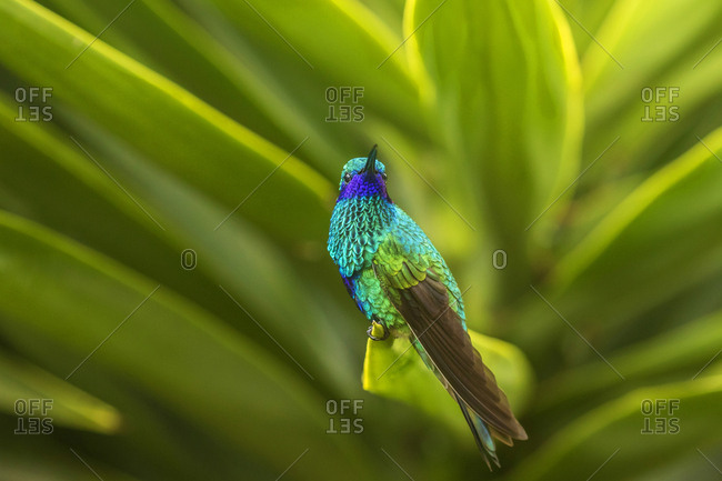 Ecuador, Nono, Sparkling violet-ear on leaf