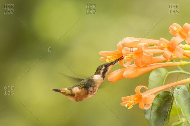 Ecuador, Purple-throated woodstar feeding