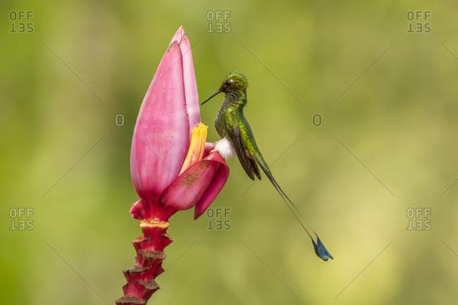 Ecuador, Booted racket-tail feeding on flower