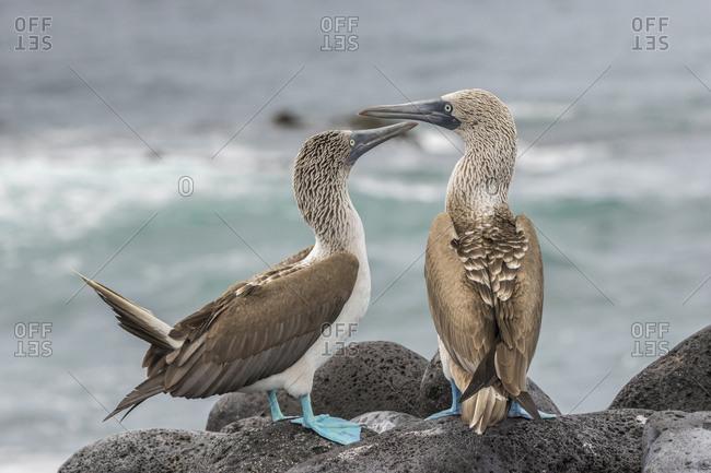 Ecuador, Galapagos National Park, Blue-footed booby birds in courtship display